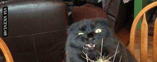 Kaktus! Jedina biljka s kojom mačke ne žele imati posla.