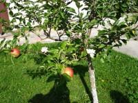 Mali Mujica i susjedove jabuke